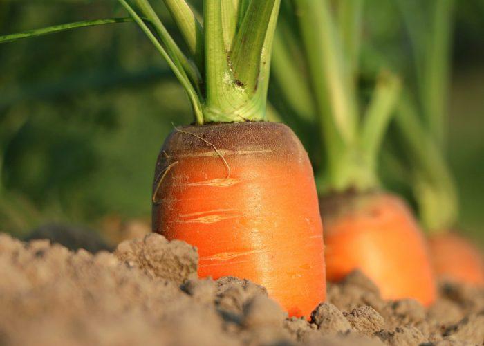 carrot-1565597